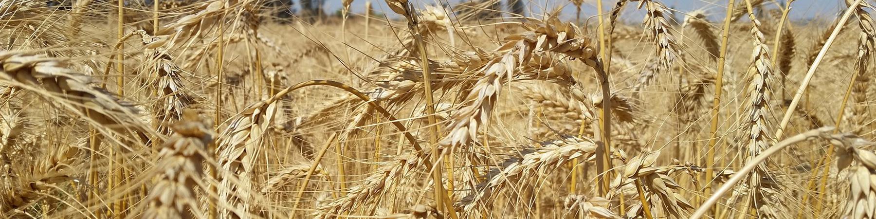 Cereales: Trigo, Maíz y Girasol - Productos Las Marismas de Lebrija