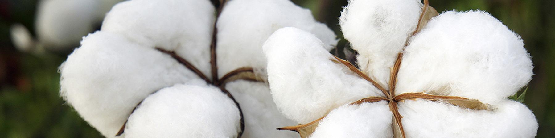 Cultivation of Cotton - Marismas de Lebrija