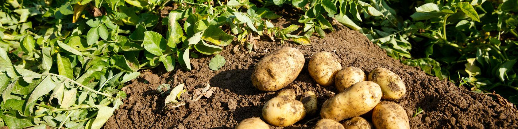Productos Hortícolas: Patata - Productos Las Marismas de Lebrija