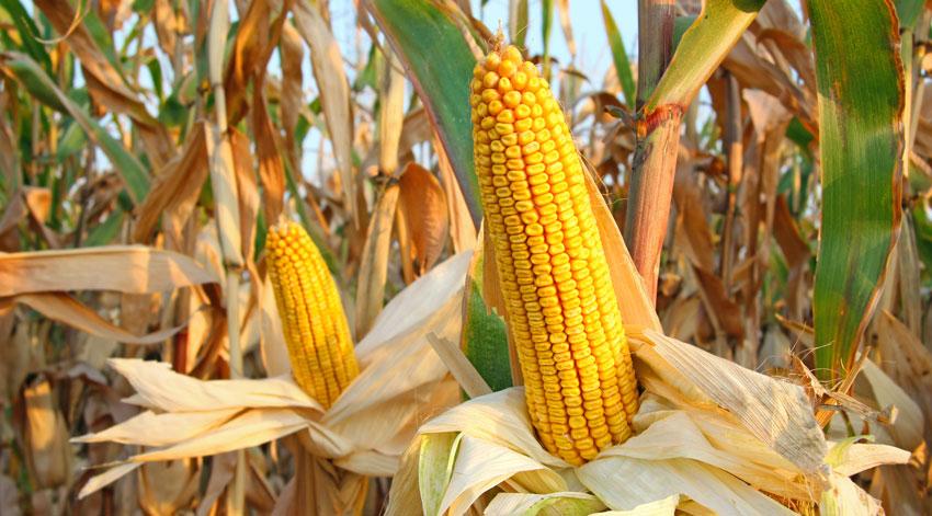 Cereales y proteicos - Las Marismas de Lebrija