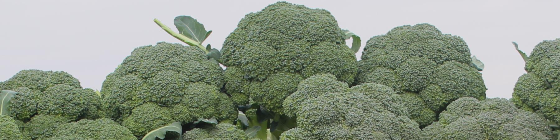Productos Hortícolas: Brócoli - Productos Las Marismas de Lebrija