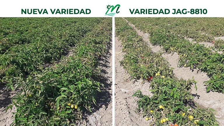 Ensayo e investigación variedades de tomate en Las Marismas de Lebrija