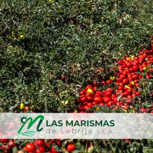 Nuevas variedades de tomate campaña 2021