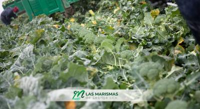 Propiedades del brócoli de Las Marismas de Lebrija
