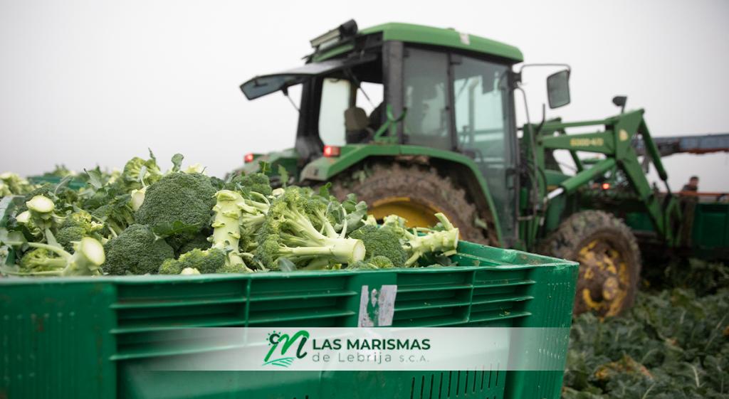 Como destacados productores de brócolis, Las Marismas de Lebrija recolecta esta hortaliza de invierno en estos meses.