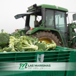 Productores de brócolis de Las Marismas de Lebrija en la campaña 2020-2021