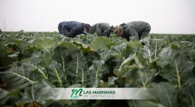 Trabajadores recolectando brócolis en Las Marismas de Lebrija