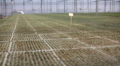 La producción de brócolis comienza en semilleros